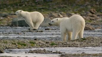 S33 Ep3: Polar Bears Try to Catch Salmon