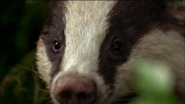 Female Badger Looks for Love