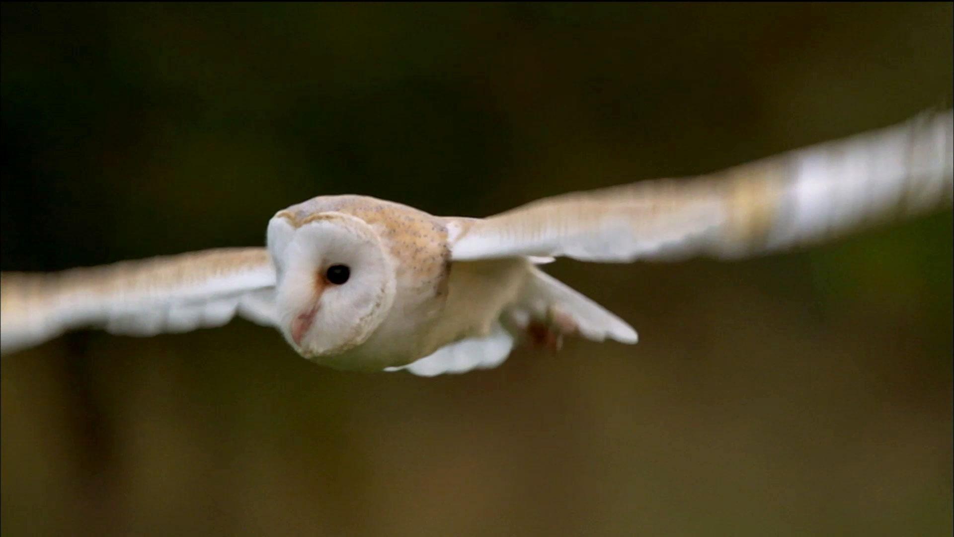 owl shows off silent flight superpower
