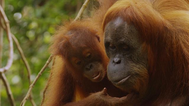 The Last Orangutan Eden - Preview
