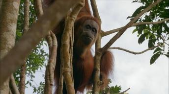 S33 Ep6: Orangutan Mom Helps Baby Swing Through Tree Tops