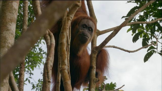 Orangutan Mom Helps Baby Swing Through Tree Tops