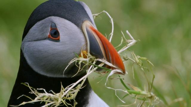 Puffins Search for the Perfect Home