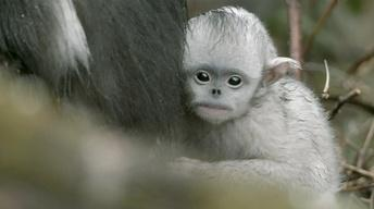 S33 Ep11: Baby Snub-nosed Monkey Abandoned by Mother