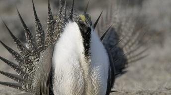 S33 Ep13: Sage-Grouse Display Lekking Behavior