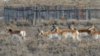 S33 Ep13: Fences Create Problems for Pronghorn