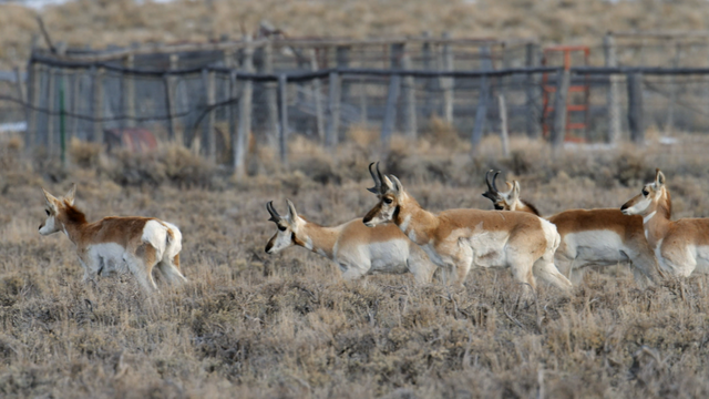 Fences Create Problems for Pronghorn
