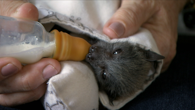 Helping Fruit Bat Orphans in Australia