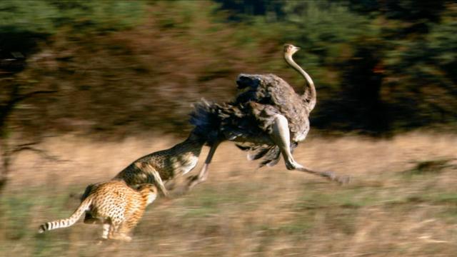 Cheetahs Chase Down Ostrich
