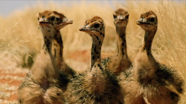 Baby Ostriches Hatching