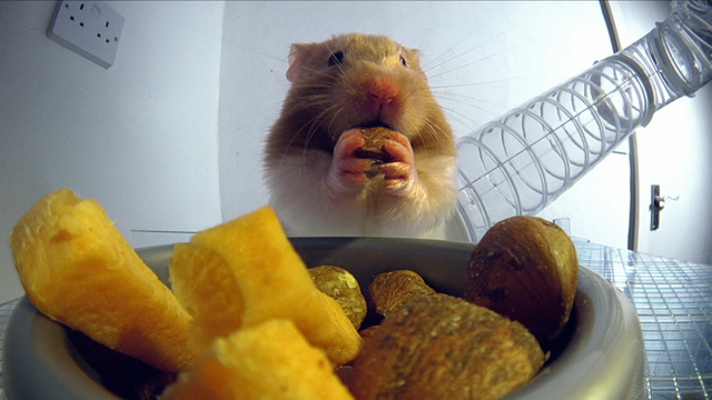 Hamster Hoards Food in Hidden Cheek Pouches