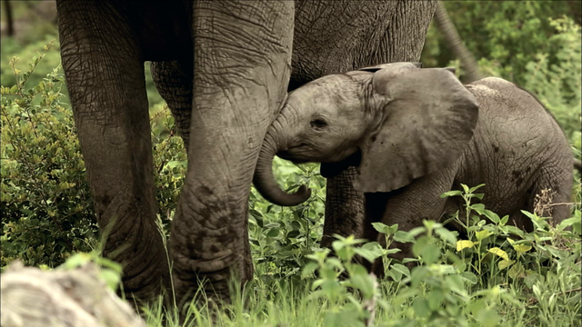 Baby Elephant Explores His World