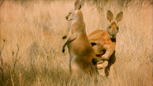 The Sneaky Mating Strategy of Red Kangaroos