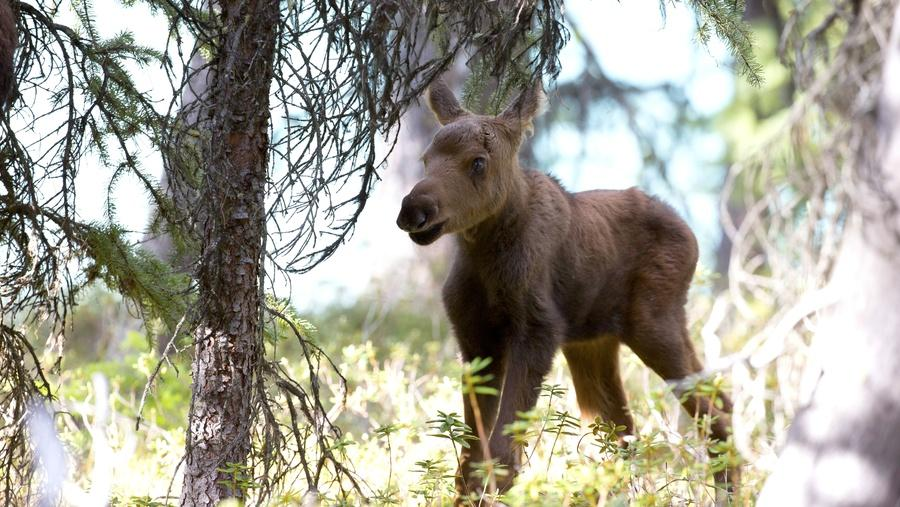 Nature - Moose: Life of a Twig Eater