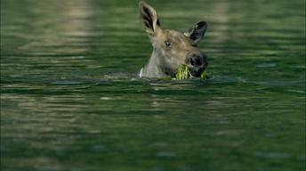 S34 Ep8: Adorable Baby Moose Learns to Swim