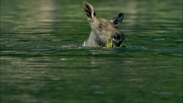 Adorable Baby Moose Learns to Swim