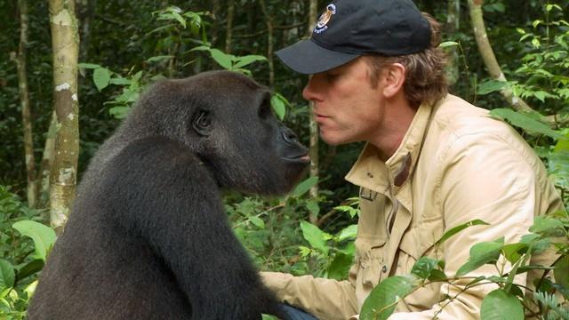 Gorilla Reunites with Old Friend