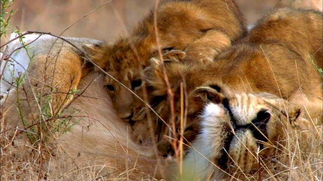 Lion Cubs Playing with Mom and Dad