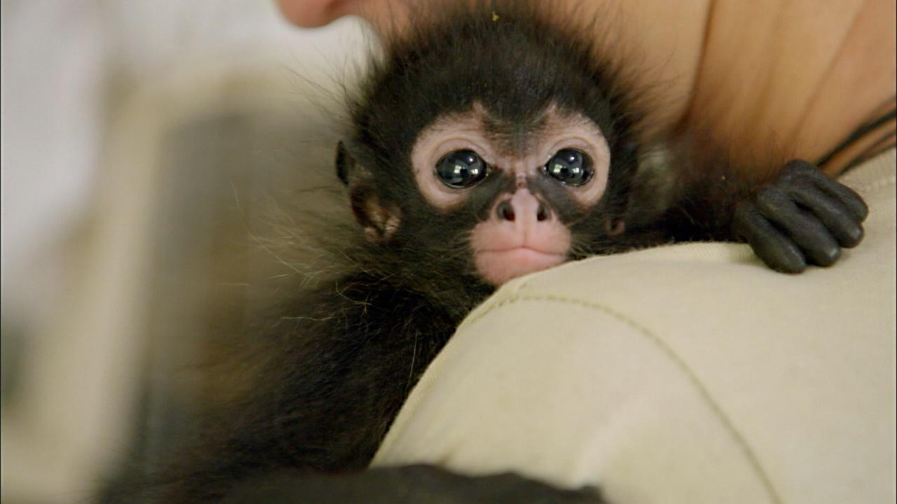 Orphaned Spider Monkey Nursed Back to Health