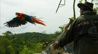 S34 Ep3: Scarlet Macaws Released to the Wild