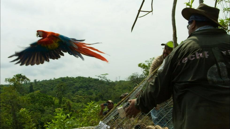 Scarlet Macaws Released to the Wild  image