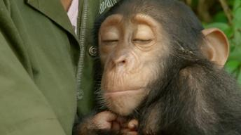S35 Ep2: Orphaned Baby Chimp Snuggles with Caregiver