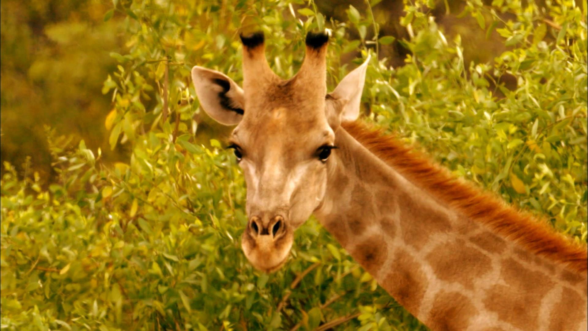 Giraffes: Africa's Gentle Giants