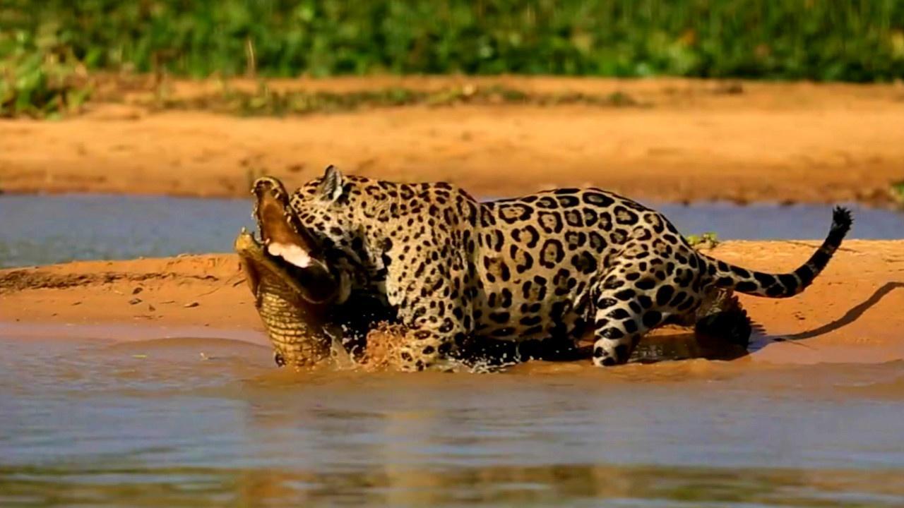 Jaguar Attacks Caiman Crocodile
