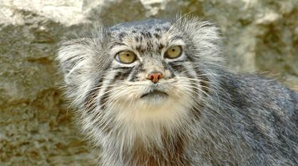 Nature -- Grumpy-Faced Cat is a Mountain Survivor