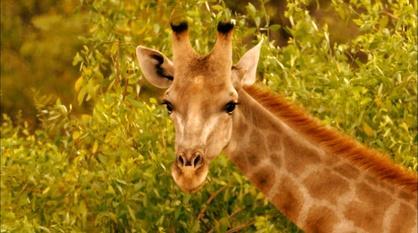 Nature -- Giraffes: Africa's Gentle Giants