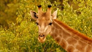Giraffes: Africa's Gentle Giants