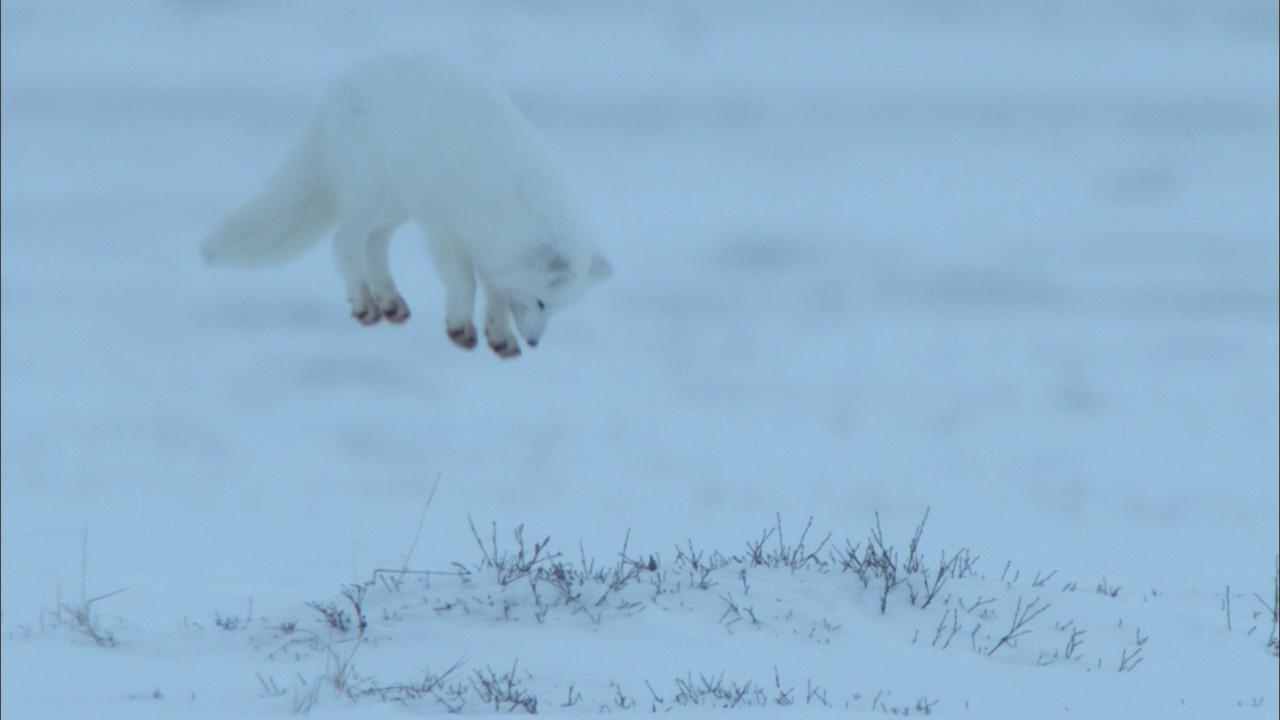 Arctic Fox Dive Bombs Prey Hidden in the Snow