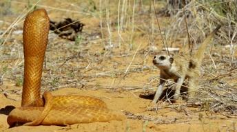 Fearless Meerkat Takes on 'Spy Cobra'