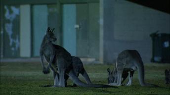 Metropolitan Marsupials