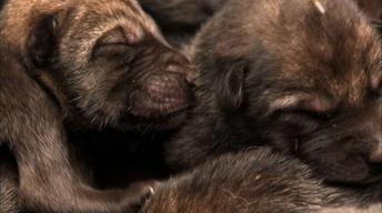 Radioactive Wolf Pups