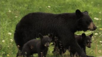 Bears of the Last Frontier: The Road North