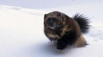 Wolverine: Chasing the Phantom