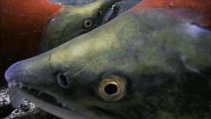 Salmon: Running the Gauntlet