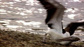 Pelican Tantrums
