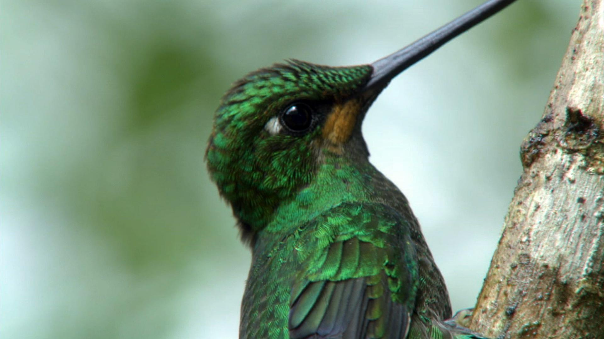 Hummingbirds Magic The Air Nature Pbs