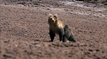 The Himalayan Bear and the Tibetan Fox