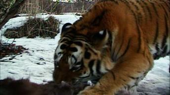Filming Wild Tigers