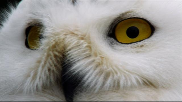 Magic of the Snowy Owl