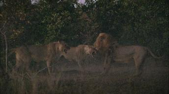 A Fight Between Lions