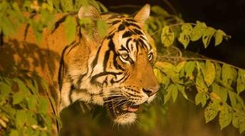 Broken Tail: A Tiger's Last Journey - Preview