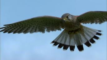 Revealing Kestrel Flight