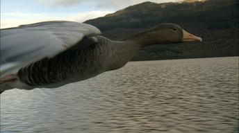 Alongside Greylag Geese