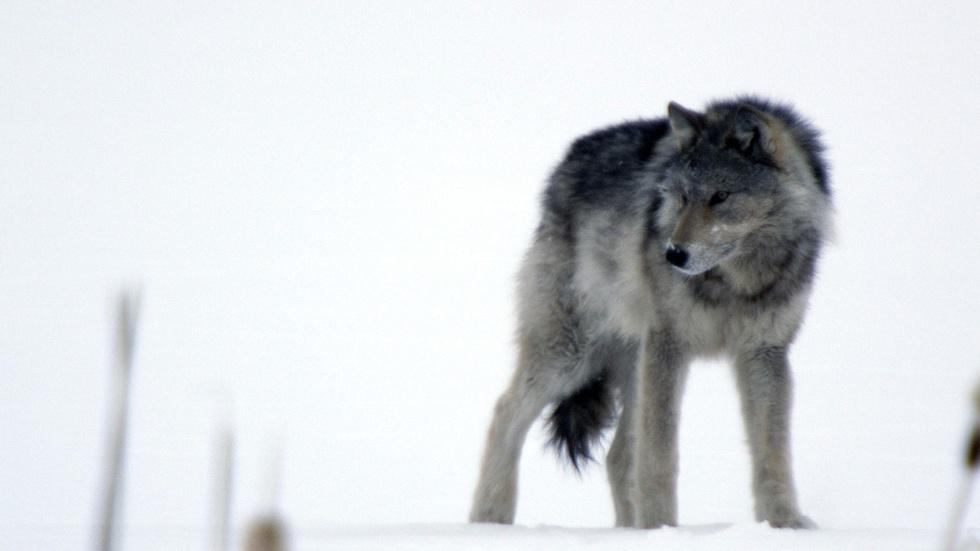 Cold Warriors: Wolves and Buffalo image