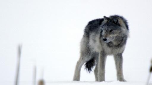 Cold Warriors: Wolves and Buffalo Video Thumbnail