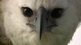 Jungle Eagle - Preview